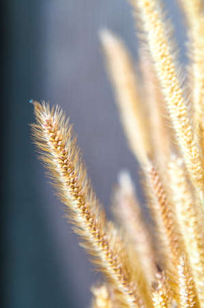 Dry grass closeup photo