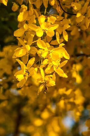 cassia: Cassia fistula flower closeup Stock Photo