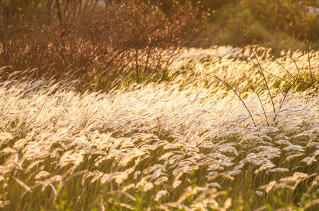 Grass flower in wind at sunset in the green field in Thailand photo