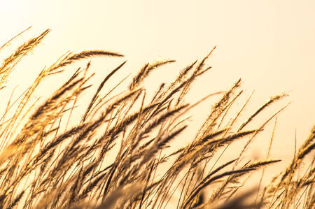 Feather grass flower in the morning photo