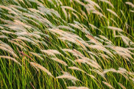 Grass flower in wind closeup photo