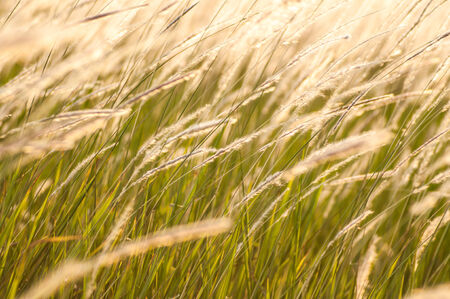 Feather grass in wind photo