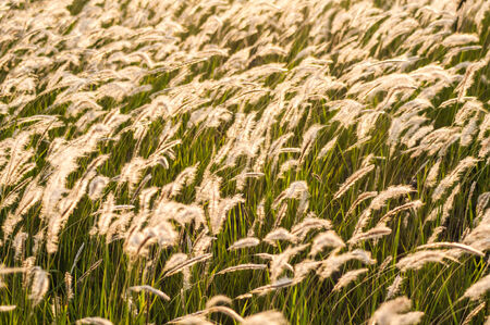 Feather grass in wind at sunset in the green field in Thailand photo
