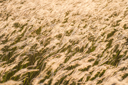 Feather grass in wind at sunset in the green field photo