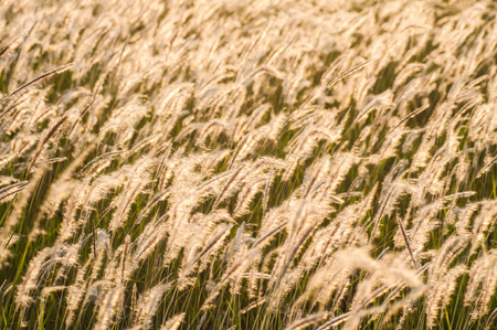 Feather grass flower in wind photo