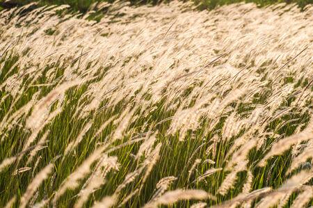 White grass flower in sunlight effect photo