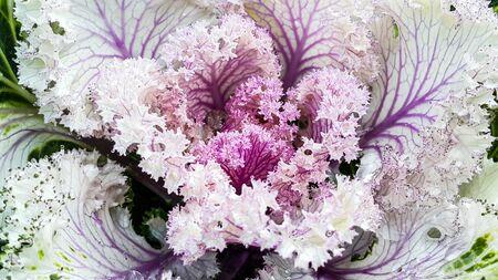 indentation: Violet cabbages indentation