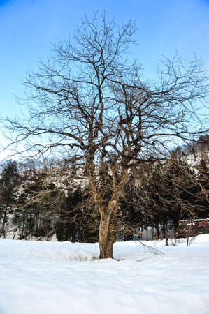 shrinkage: Sakura tree in winter season of Japan Stock Photo
