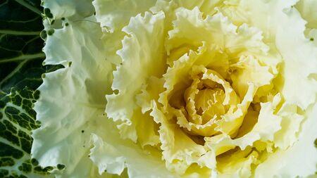 Yellow cabbage pollen flower