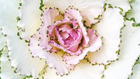 lobe: Beautiful top view of cabbage flower pollen on white lobe or rose flower Stock Photo