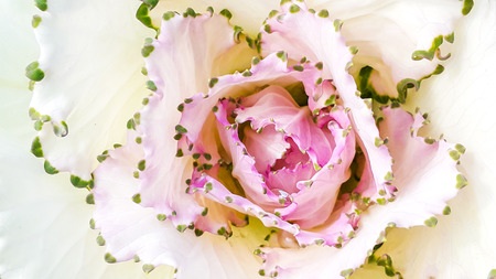 lobe: Top view of cabbage flower pollen on white lobe