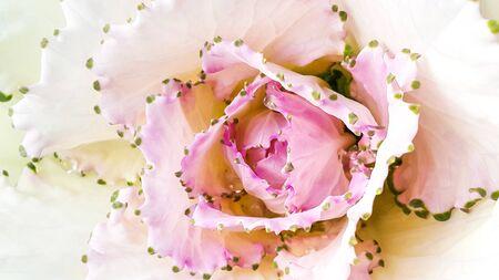 Pink cabbage flower pollen on white lobe background