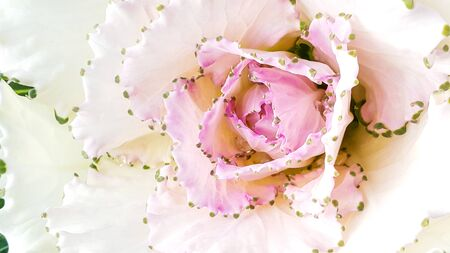 lobe: Cabbage flower pollen on white lobe Stock Photo