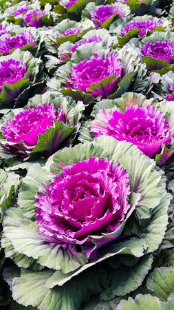 Beautiful purple cabbages flower
