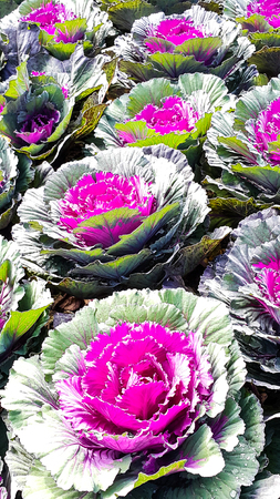 Beautiful purple cabbages flowering with sunlight