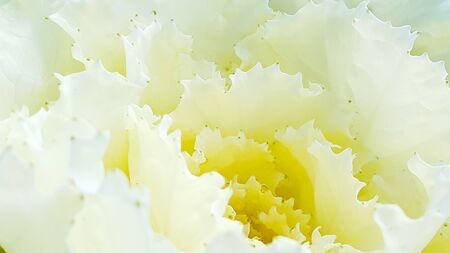 Beautiful white and yellow of cabbage flower Stock Photo