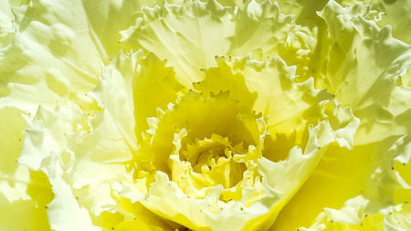 Yellow cabbage flower on white isolated
