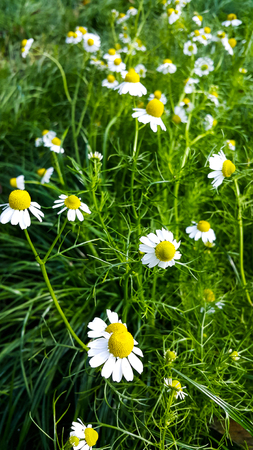 marguerite: Camomile  flowers  blossoms