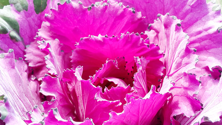 Deep pink of cabbage flower with sunlight