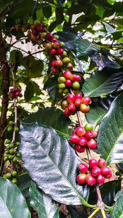 Fresh red coffee beans on tree in the garden of Thailand