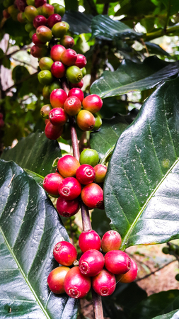 Colorful of coffee beans on tree branch in the morning Stock Photo