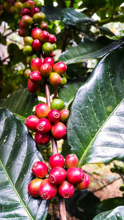 Colorful of red coffee beans on tree branch Stock Photo