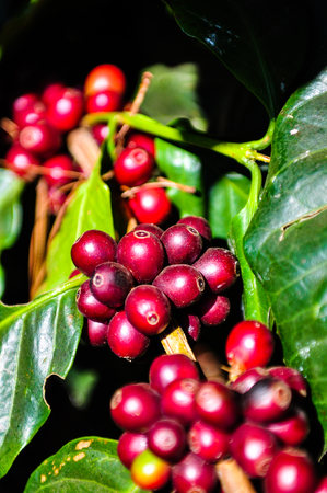 Sunlight effect on the red coffee beans on tree branch Stock Photo - 86571448