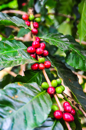 Green and red coffee seeds on tree branch in the garden,Thailand Stock Photo - 86571451