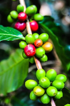 Colorful color of coffee beans on tree branch