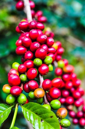 Raw coffee bean on coffee tree plantation in Thailand