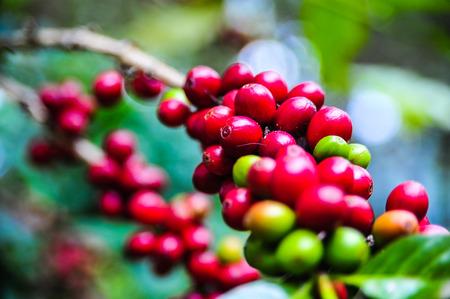 Organic of colorful coffee cherries Stock Photo - 86571454