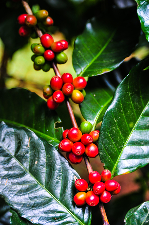 Groups of colorful coffee beans on coffe tree