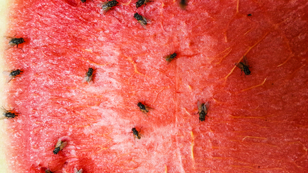 Red of watermelon slice with fly Stock Photo