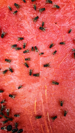 Fly on watermelon