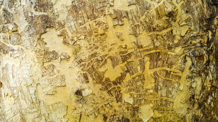 Texture of tree bark background