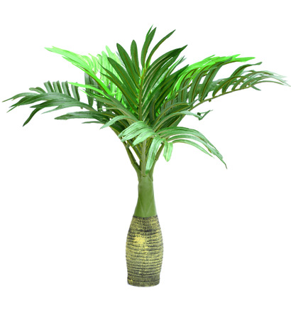 cycad: Cycad palm tree isolated on white background Stock Photo