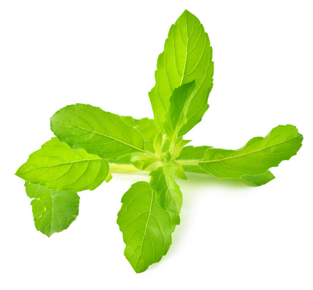 tulsi: Holy basil or tulsi leaves isolated over white  Stock Photo