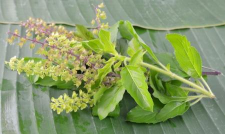 tulasi: Basil flower Stock Photo