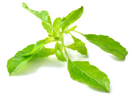 botanical remedy: Holy basil or tulsi leaves isolated over white background
