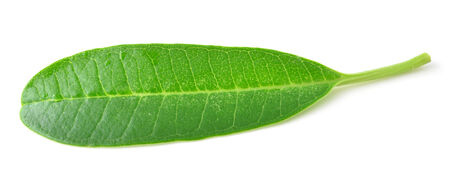 frangipani leaf isolated on white
