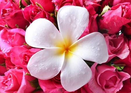 colorful plumeria flower photo