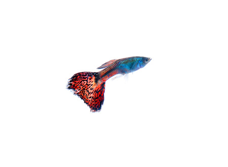 guppy pet fish swimming isolated photo