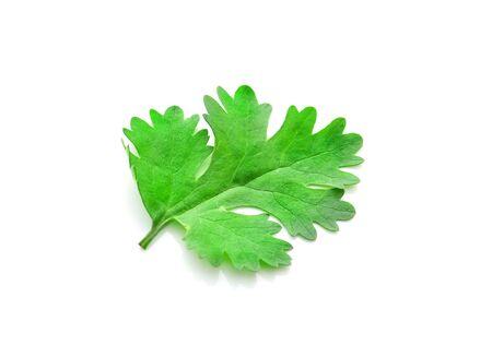 culantro: cilantro verde Foto de archivo