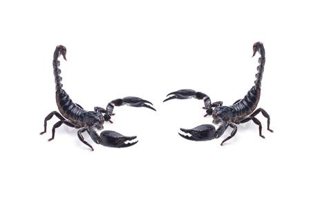 Scorpion on white background photo