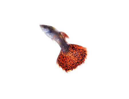 guppy fish on white background photo