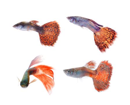 guppy fish: guppy pet fish swimming isolated Stock Photo