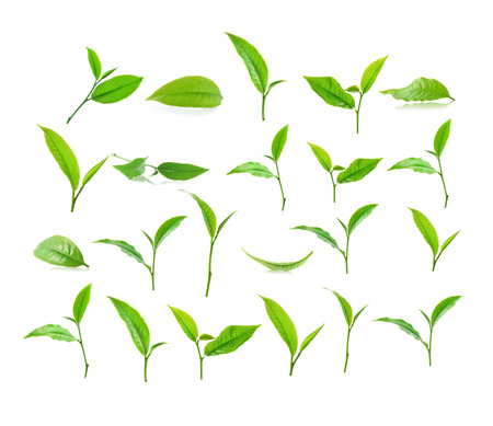 three leaf: Green tea leaf isolated on white background.