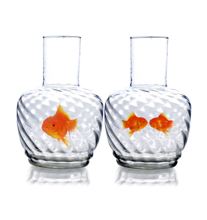 Gold fish in glass photo