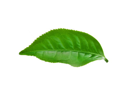Green tea leaf isolated on white background. photo