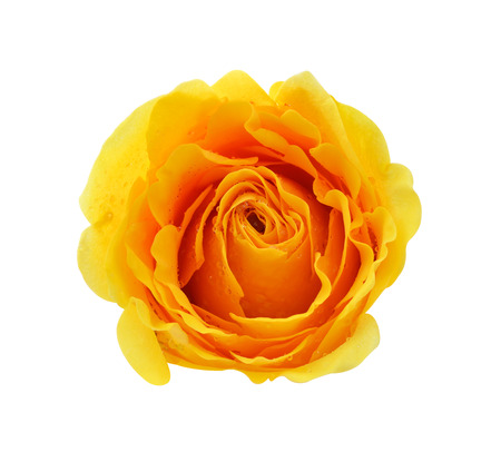 Yellow Rose  Banque d'images - 41689996